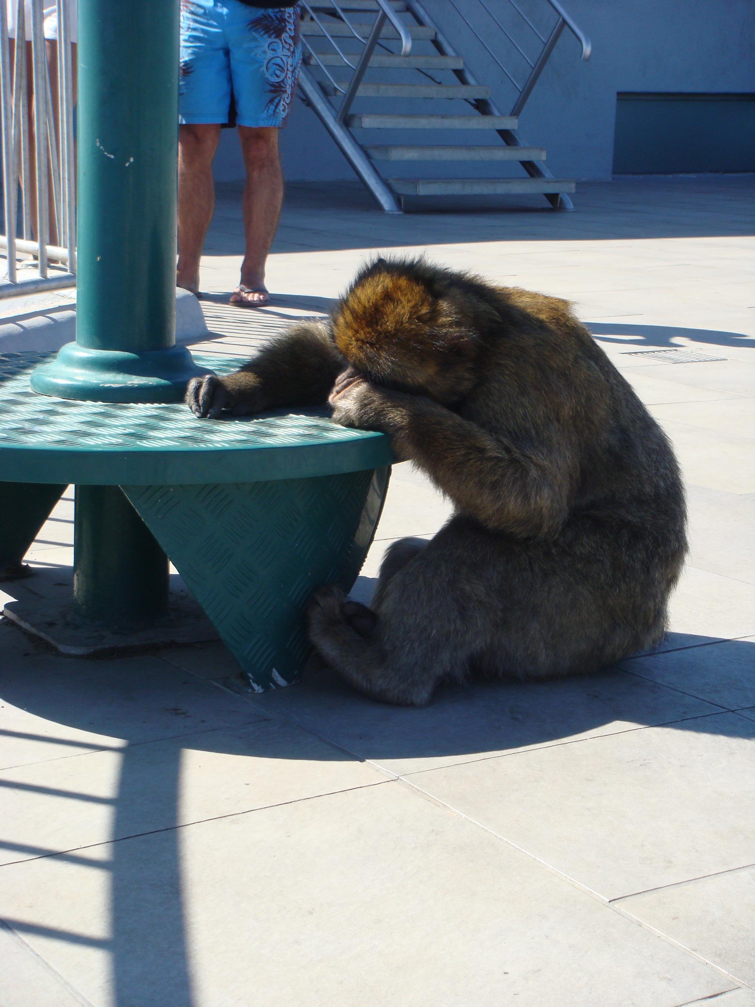 Gibraltar Monkey