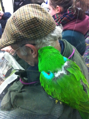 Green parrot on a mans shoulder on the Tube
